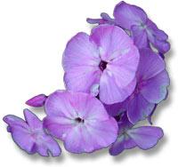 blume-violett.jpg